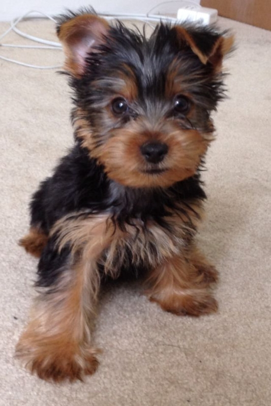 New Mexico Cute and healthy Teacup Yorkie puppies : Pets and